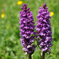 Spotted Orchids from the Pyrenees