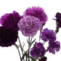 Purple carnations (all year)