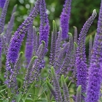 Purple veronica