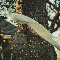 White Wedding Peacock