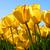 1428636561 small thumb tulips